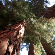 titel_sequoia